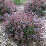 Sunjoy Todo barberry in spring with its deep purple foliage.