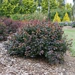 Sunjoy Todo barberry showing its dense compact form.