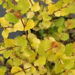 Closeup of the neat toothed foliage of Cesky Gold dwarf birch.