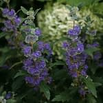 Close up of blue flowers in two stems of plant