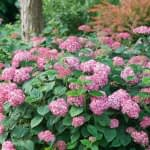 mass planting of pink hydrangeas in garden with tree trunk and orange barberry