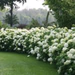 curved hedge of white flowering hydrangeas