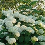 Close up of white hydrangea blooms with a tree in background