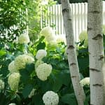White hydrangea blooms with white birch trunk and white picket fence