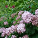 Close up of light pink hydrangea shrub with deep red sweetshrub blooms in background