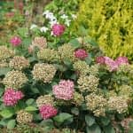 Hydrangea plant with pink and aged green blooms