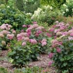Group of five pink smooth hydrangea shrubs in heavily planted garden