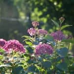 Close up of dark pink hydrangea blooms backlit from sun