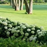 lime green hydrangea hedge along large grass lawn dotted with trees