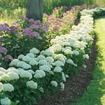 long winding hedge of white and lime hydrangeas