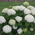 dozens of white and lime hydrangea blooms on mounded shrub