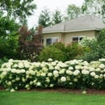 hedge of lime green hydrangeas with house in background