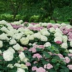 mixed planting of pale green and pink hydrangeas
