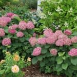 Two pink hydrangea shrubs in garden with roses