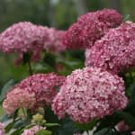 close up of pink hydrangea blooms