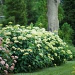Planting of pale green-blooming hydrangeas in garden with grass and tree
