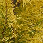 A close look at the braided texture of the foliage of Fluffy Western arborvitae, Thuja plicata.