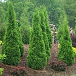 A group of lush green North Pole arborvitae planted on a berm.