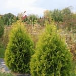 Two Polar Gold arborvitae in autumn against a backdrop of trees and shrubs.