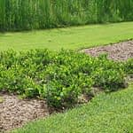 Ground Hug aronia naturally grows with a dense, ground covering habit.