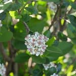 A cluster of white spring flowers on Low Scape Hedger aronia.