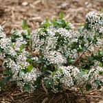 A young Low Scape Mound aronia covered in white flowers.