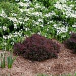 Sunjoy Mini Salsa barberry sports bright red foliage in front of a viburnum with white flowers.