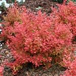 Sunjoy Neo barberry has a rounded shape.