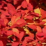 Sunjoy Neo barberry has the brightest orange foliage of pretty much any plant.