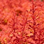 The bright orange new growth of Sunjoy Neo barberry.