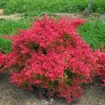The summer foliage of Sunjoy Neo barberry.