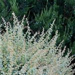 The new growth of Sunjoy Sequins barberry is bright white and green.