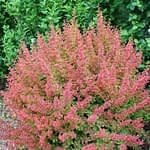 Sunjoy Tangelo barberry appears to be glowing, thanks to its orange new growth and mature green foliage.