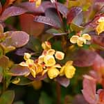 The bright yellow flowers of Sunjoy Todo barberry.