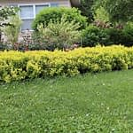Sunjoy Mini Saffron barberry growing as a low hedge in front of a home.