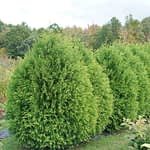 Cheer Drops arborvitae naturally grows as a rounded droplet-like shape.