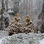 Two Fluffy arborvitae in winter, surrounded by snow, showing their golden color.