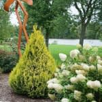 A specimen of Fluffy arborvitae planted between an orange metal sculpture and a blooming panicle hydrangea.