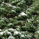 A closeup of the evergreen foliage of Spring Grove arborvitae covered in snow.