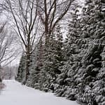 A hedge of Spring Grove arborvitae lining a driveway with a light coating of snow.