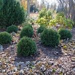 A group of eight Tater Tot arborvitae in a late autumn landscape.
