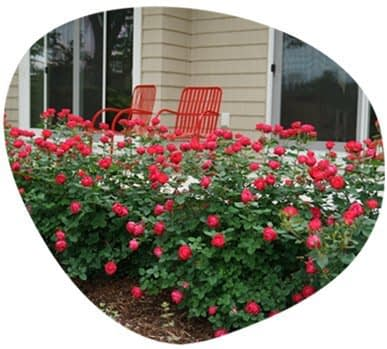 Red Oso Roses