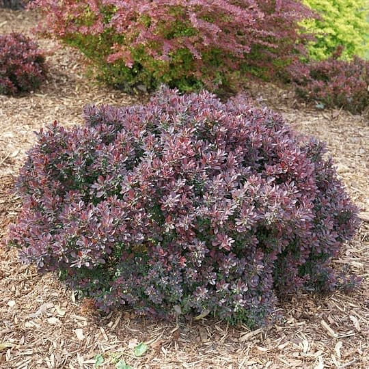 Sunjoy Mini Maroon barberry naturally grows with a compact habit.