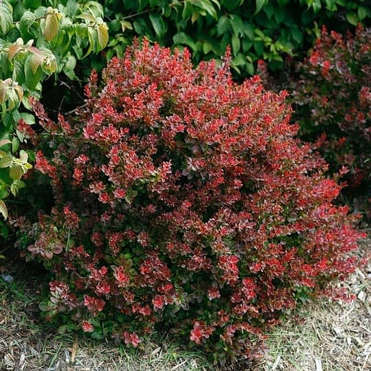 Sunjoy Mini Salsa barberry has a dense compact habit and red foliage.