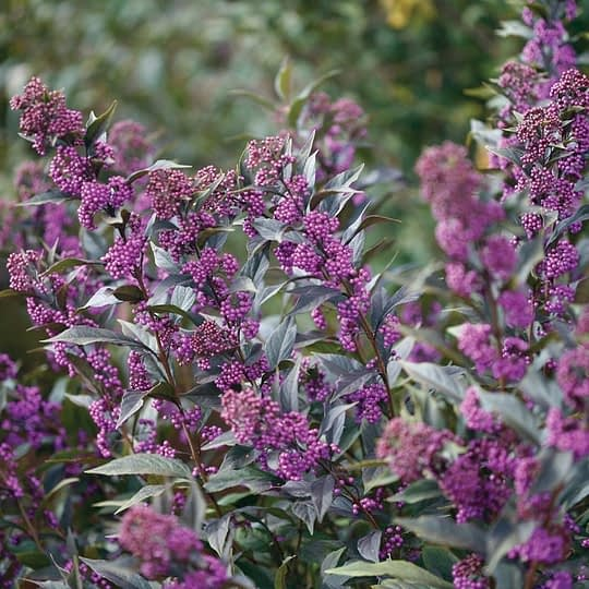 Pearl Glam beautyberry develops clusters of bright purple berries in late summer.