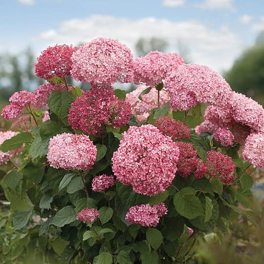 saturated pink hydrangea with blue skies
