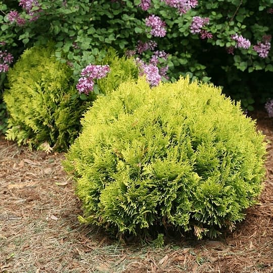 Anna's Magic Ball arborvitae is a dwarf evergreen with yellow foliage and a round habit.