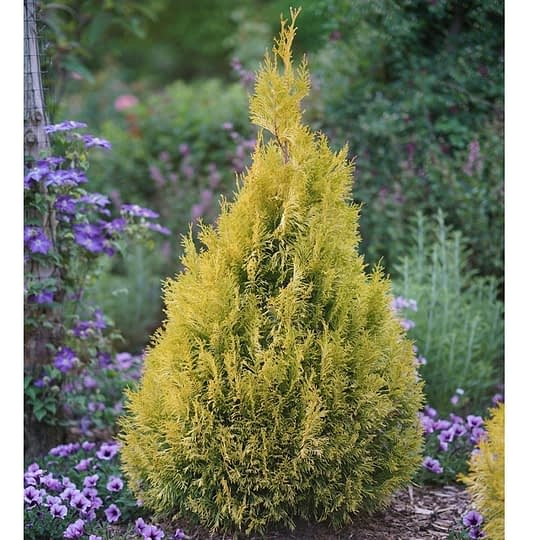 Fluffy arborvitae naturally grows as a pyramid of glossy fans of evergreen foliage.