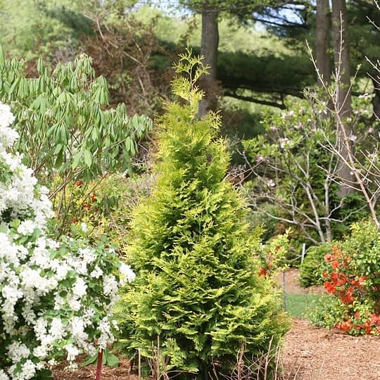 Polar Gold arborvitae in a landscape surrounded by spring flowering shrubs in orange and white.