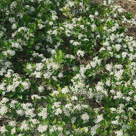 A close look at the white flower clusters of Ground Hug aronia.